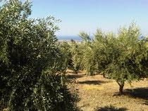 Olivenbäume Kartalos