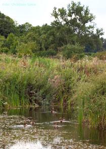 Teichanlage mit Nilgänsen
