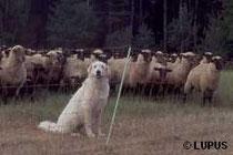 Herdenschutz durch Hunde und Zäune