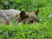 Wolf im Gras liegend