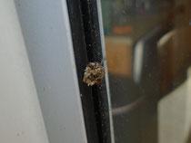 ゴミっぽい、クサカゲロウの幼虫