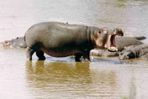 Hippo im Lake Baringo