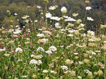 Die Blüten des Saatgutes der Kloster- bucher Saatgutmischung