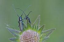 Langhaariger Scheckhornbock (Agapanthia intermedia)