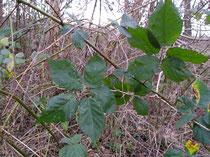 Rubus vigorosus P.J.M. & Wirtg.  Havelte winter 2014