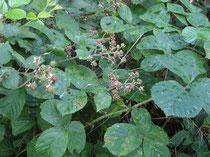 Bedreigde braam,Rubus mucronulatus Bor. Bekhofschans Oldeberkoop