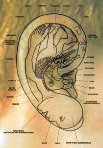 """Projection d'un """"foetus"""" dans l'oreille"""