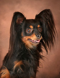 Russkiy Toy Terrier Sher GNOM GOSHA