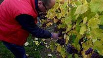 Hessische Winzer kultivieren roten Ur-Riesling