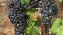 Chinas Weinszene blüht - dank französischer Winzer