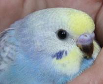 Ringnr. 14 - das älteste von Violet - wird wohl ein Hahn.