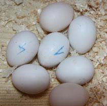 Alle 7 Eier von Jolly und Otto sind befruchtet!