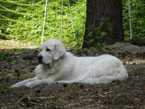 Herdenschutzhund Cleo