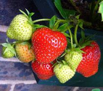 Erdbeeren, jetzt sind sie frisch zu haben
