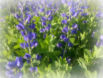 Nannette's Blue Wild Indigo