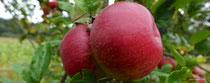 Da wachsen diese herrlichen, rot Äpfel ... zum Hineinbeißen!