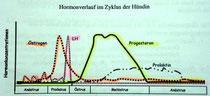 Hormonlverlauf im Zyklus der Hündin