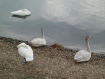 諏訪湖ハクチョウ