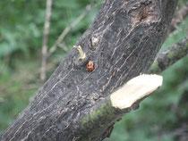 テントウ虫