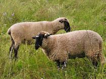 Rhön-Schafe
