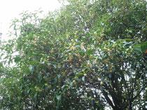 薫り高い木犀の花