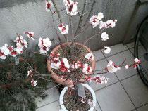 遅咲きの梅がパーッと咲いてます