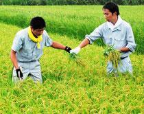 調査対象となった水田で稲を刈る関係者=4日午後、多古町南玉造