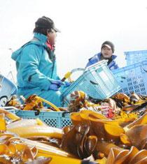 養殖したワカメの漁をする県漁協矢本支所の漁師=東松島市で2月21日