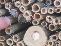 Holzbiene in Röhrchen