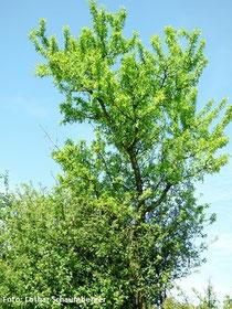 Ein Mandelbaum nach der Blüte