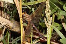 Ein erwachsenes Männchen der Braunen Mosaikjungfer, Aeshna grandis.
