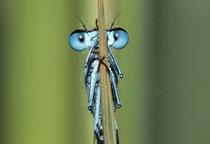 Portrait eines Männchens der Fledermaus - Azurjungfer.