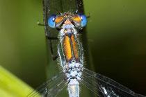 Detailaufnahme eines Männchens der Gemeinen Binsenjungfer, Lestes sponsa.