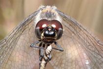 Portrait eines Männchens der Schwarzen Heidelibelle, Sympetrum danae.