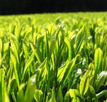 すうすく育つお茶の新芽