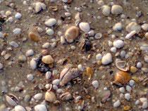 Mosaïque de coquillages sur la plage de St Jean Le Thomas