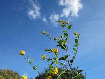 Schöne Blüte, gesunde Knolle: Topinambur
