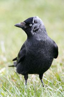 Die Dohle - Vogel des Jahres 2012 (Foto: NABU /F. Derer)