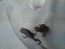 Zwei junge Wechselkröten (Foto: Gudrun Edner)