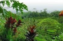 Reisfeld bei Ubud