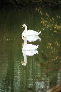 Cygnes sur lac