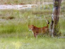 Lionne blessée à Bouna, RCI