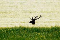 Cerf dans les blés