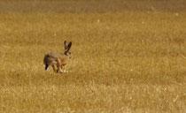 Lièvre dans la plaine