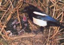 Ein Elsterweibchen kehrt zum Nest zurück, um seine hungrige Brut zu füttern.