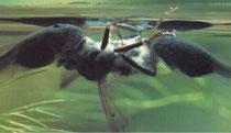 Wenn die Kaulquappen größer geworden sind, fressen die auch Algen.