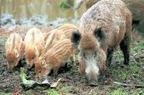 Wildschwein mit Frischlingen auf Futtersuche