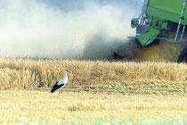 Storch auf dem Getreidefeld