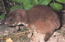 Mauswieseljunges mit 12 Wochen