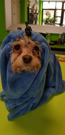 Bolonka Zwetna Jerry... nach dem Baden wird erst mal ins Handtuch gekuschelt